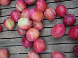 Plums, plums and more plums